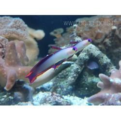 Ecsenius bicolor (Bicolor...